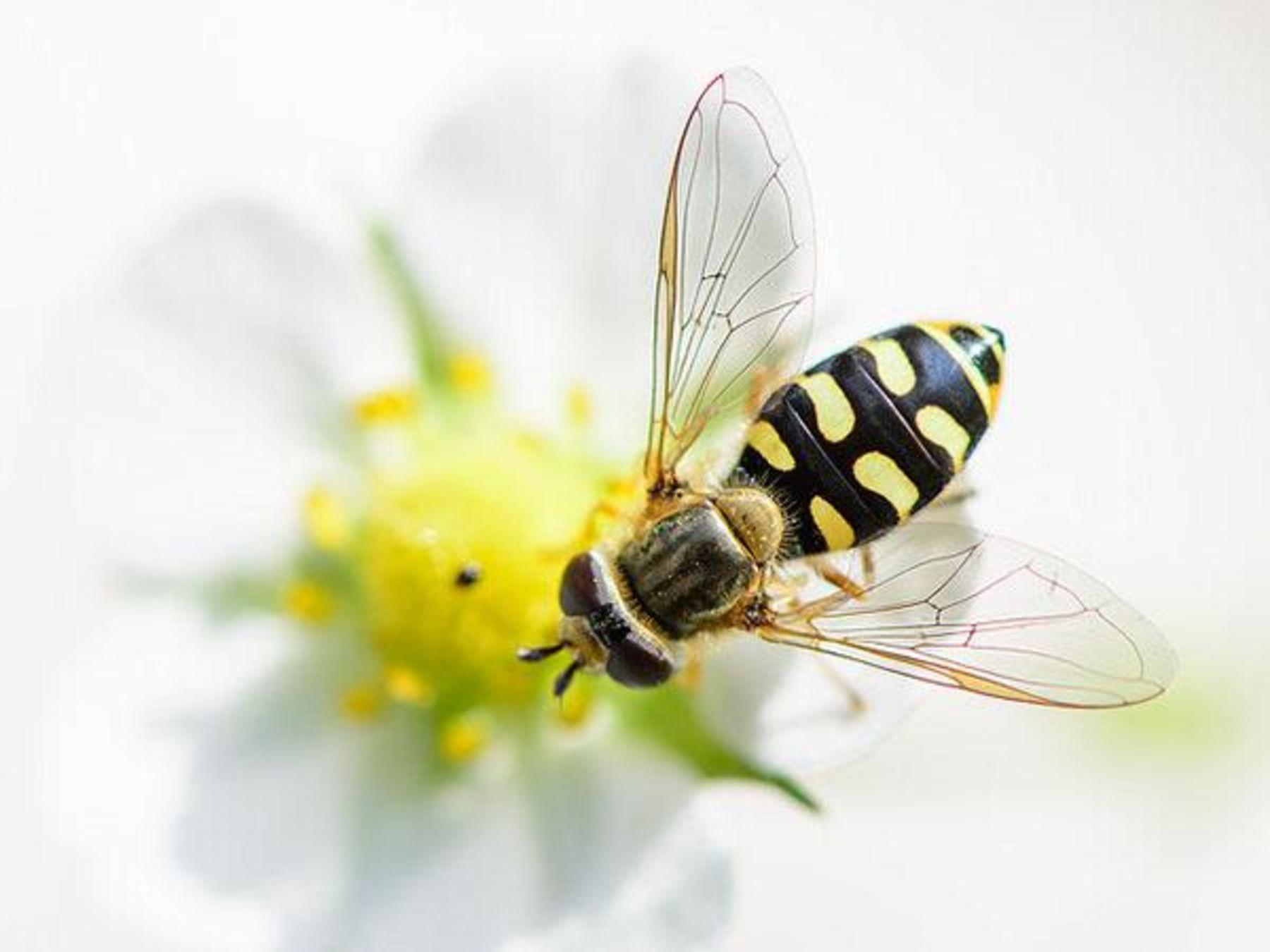 Wespen Hummeln Bienen Wer Ist Wer ökoleo Umwelt Und