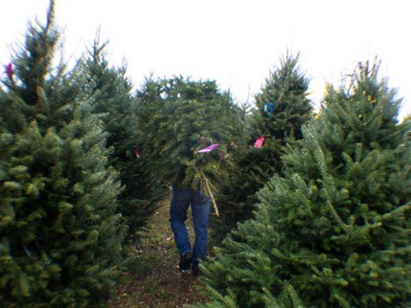 Der Weihnachtsbaum.Woher Kommt Der Weihnachtsbaum ökoleo Umwelt Und Naturschutz Für
