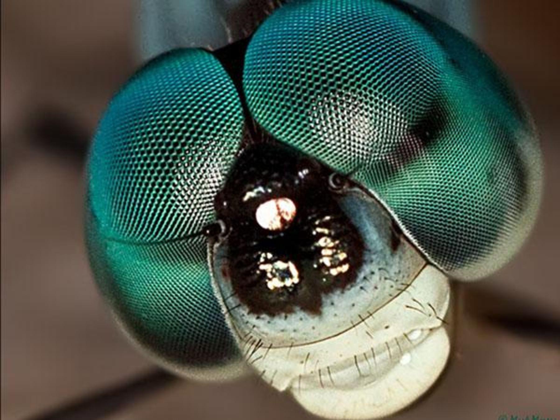 Insekten Augen