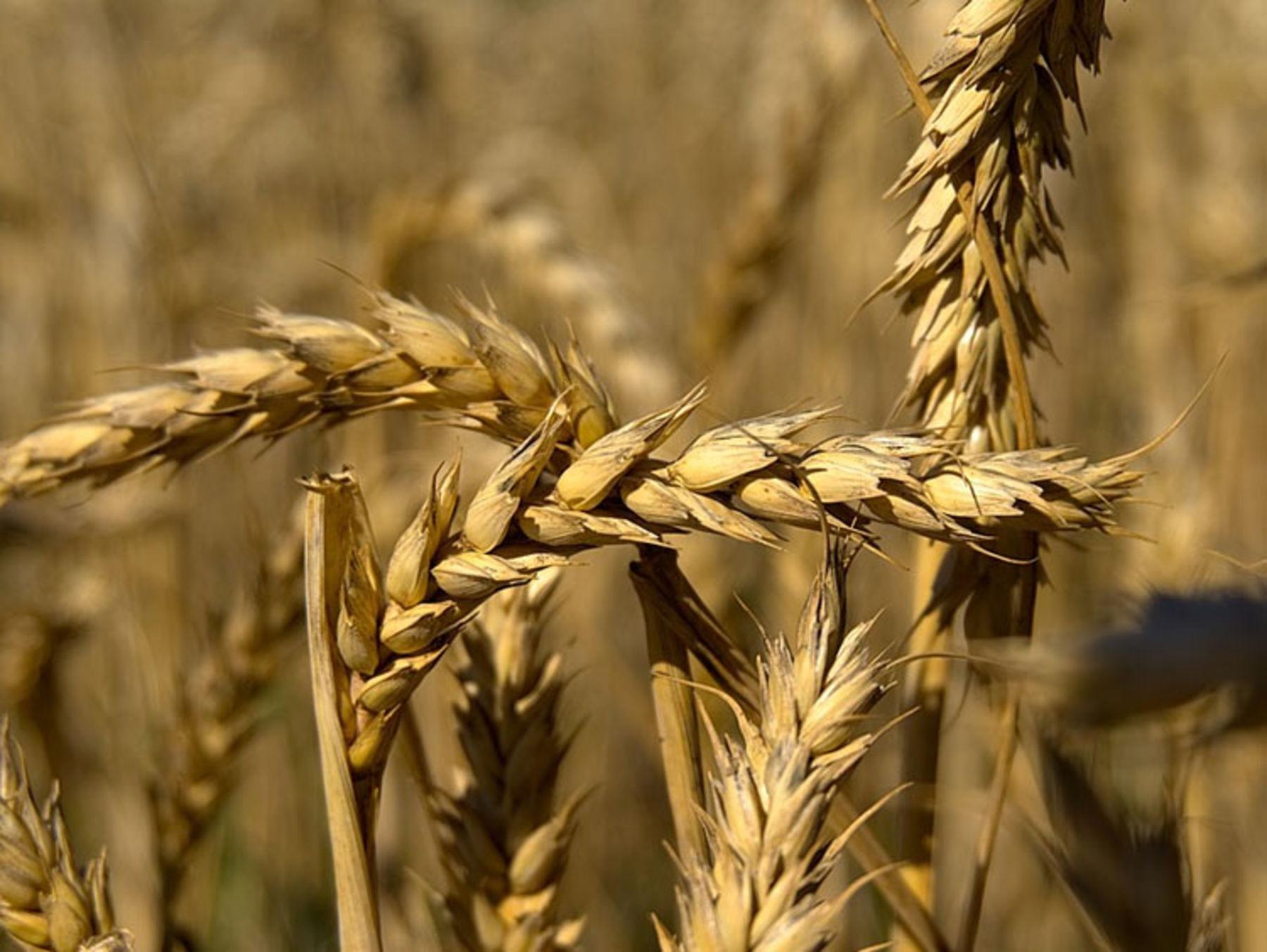 Fotoserie So Erkennst Du Die Getreidesorten Auf Dem Feld Okoleo Umwelt Und Naturschutz Fur Kinder In Hessen