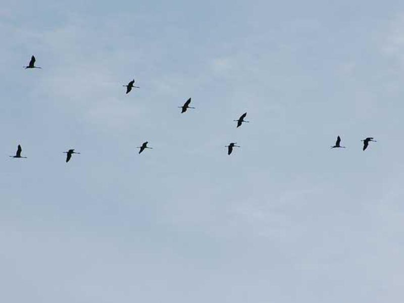 competitive price e41d7 e6a99 Zugvögel unterwegs: Wer trötet da? - ökoLeo Umwelt- und ...