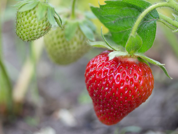 Unreife Erdbeeren